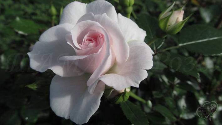191_aspirin_rose_1_708.jpg