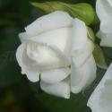 191_aspirin_rose_2_125.jpg