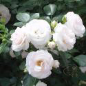 191_aspirin_rose_3_125.jpg
