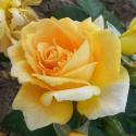 192_bernstein_rose_1_125.jpg