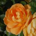 192_bernstein_rose_2_125.jpg