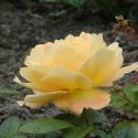 192_bernstein_rose_3_125.jpg