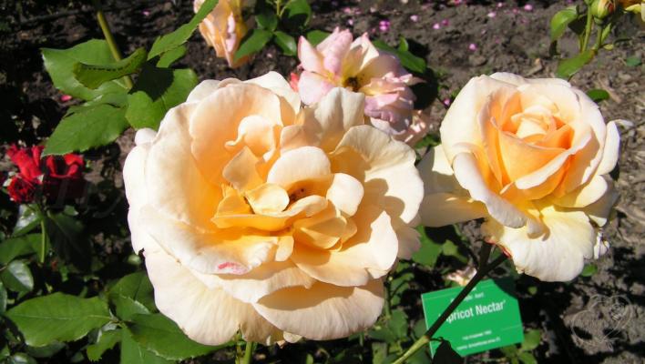 193_apricot_nectar_1_708.jpg