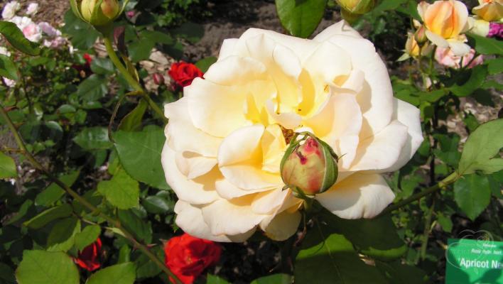 193_apricot_nectar_2_708.jpg