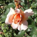 193_apricot_nectar_3_125.jpg