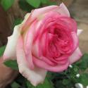 205_eden_rose_85_1_125.jpg