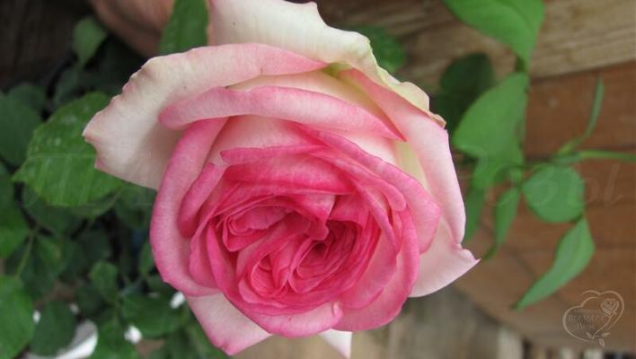 205_eden_rose_85_1_708.jpg