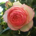 205_eden_rose_85_2_125.jpg