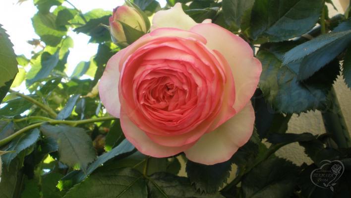 205_eden_rose_85_2_708.jpg
