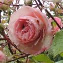 205_eden_rose_85_3_125.jpg