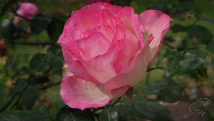 284_bordure_rose_1_708.jpg