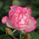 284_bordure_rose_2_125.jpg