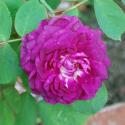 304_reine_des_violettes_1_125.jpg