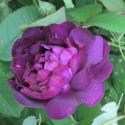 304_reine_des_violettes_2_125.jpg