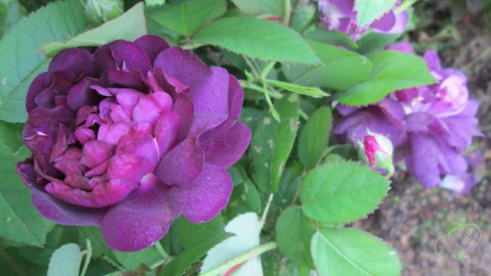 304_reine_des_violettes_2_708.jpg