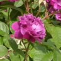 304_reine_des_violettes_3_125.jpg