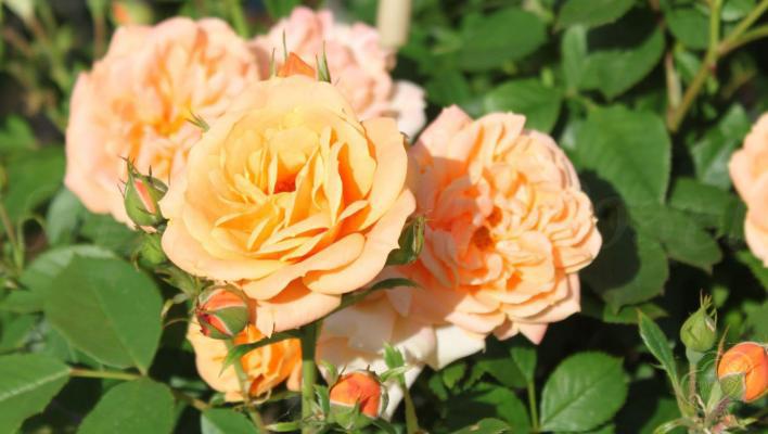 311_apricot_clementine_1_708.jpg