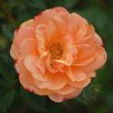 311_apricot_clementine_2_125.jpg