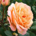 311_apricot_clementine_3_125.jpg
