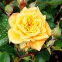 312_yellow_clementine_1_125.jpg
