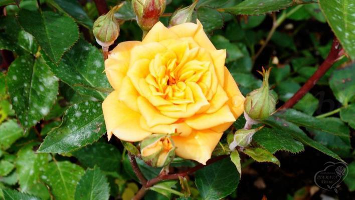 312_yellow_clementine_1_708.jpg