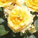 312_yellow_clementine_2_125.jpg