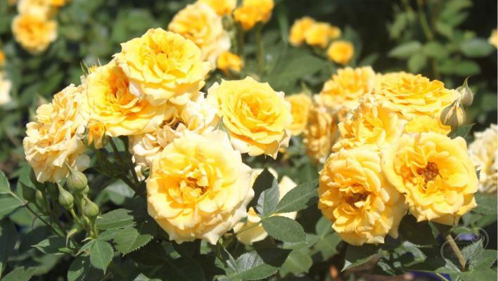 312_yellow_clementine_2_708.jpg