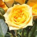 312_yellow_clementine_3_125.jpg