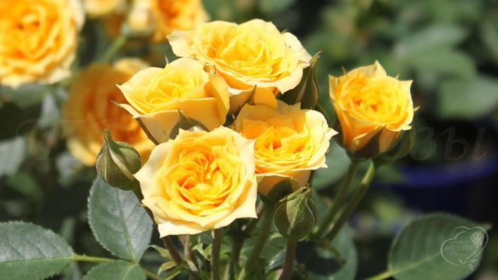 312_yellow_clementine_3_708.jpg