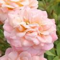 313_peach_clementine_2_125.jpg