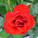 BLACK FOREST ROSE