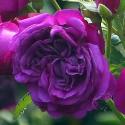 334_purple_lodge_2_125.jpg