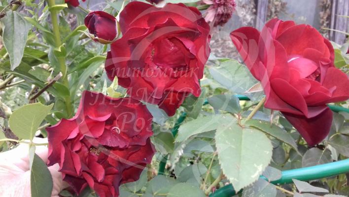 424_midnight_rose_708.jpg