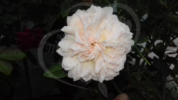 479_garden_of_roses_1_708.jpg