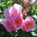 47_pink_robusta_1_125.jpg