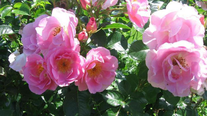 47_pink_robusta_1_708.jpg