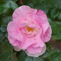 47_pink_robusta_2_125.jpg