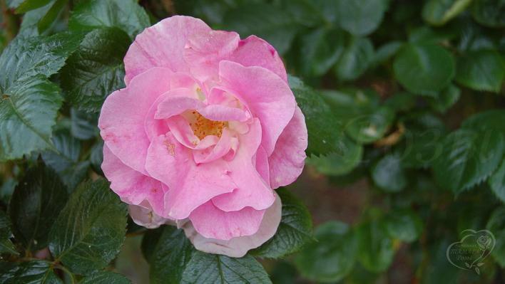 47_pink_robusta_2_708.jpg