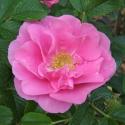 47_pink_robusta_3_125.jpg