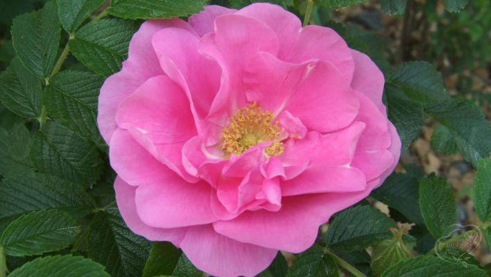 47_pink_robusta_3_708.jpg