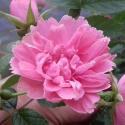 584_pink_grootendorst_1_125.jpg