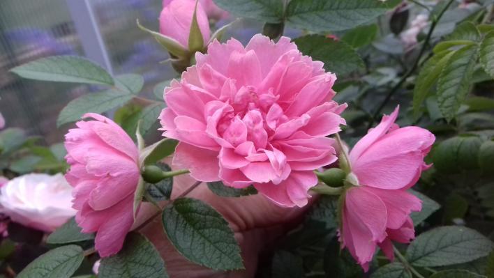 584_pink_grootendorst_1_708.jpg