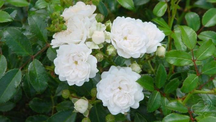 64_white_fairy_1_708.jpg