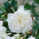 64_white_fairy_2_125.jpg