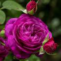 72_heidi_klum_rose_1_125.jpg