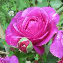 72_heidi_klum_rose_2_125.jpg