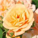 73_clementine_3_125.jpg
