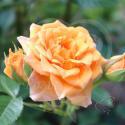 73_clementine_3_1251.jpg