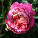 Centenaire de l'Haÿ-les-roses