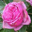 Durance Ancian Rosa